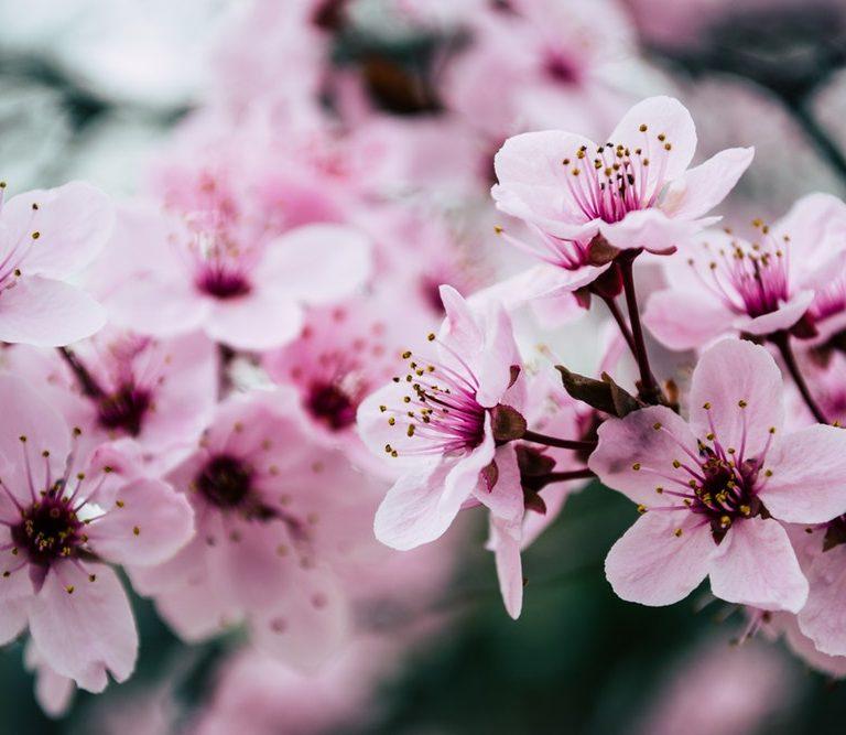 enjoy spring cherry blossom close up