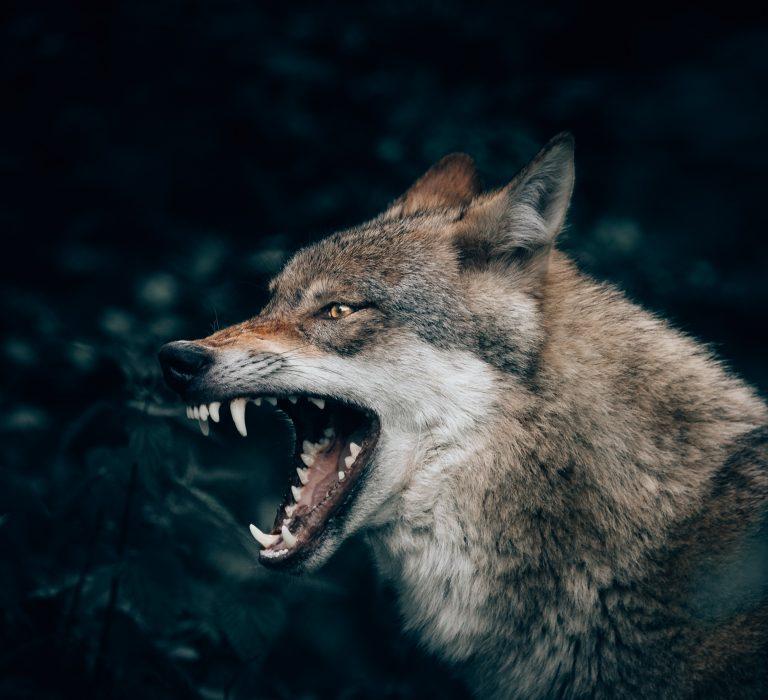 Single Lone Wolf